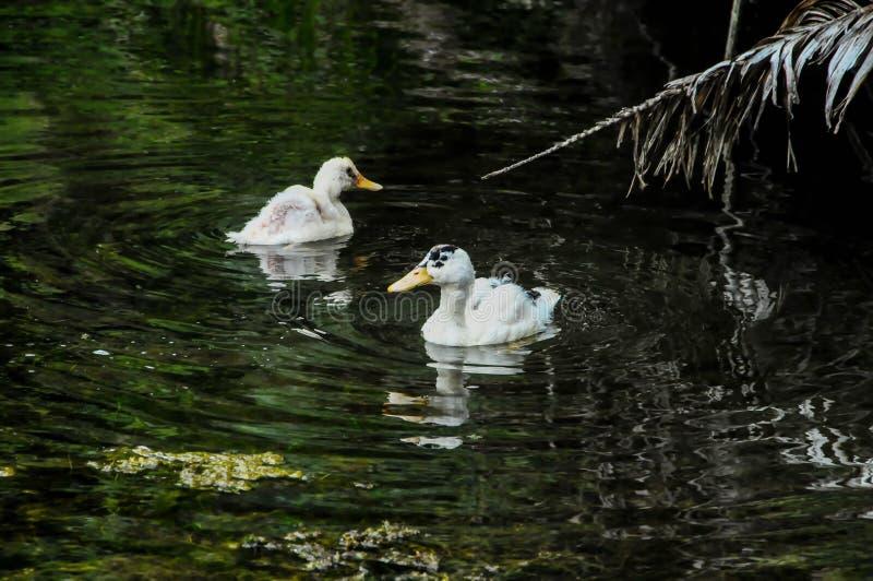łabędź na jeziorze, cyfrowy fotografia obrazek jako tło zdjęcie royalty free