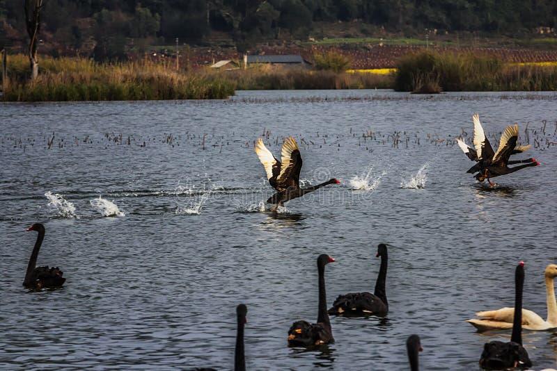 Łabędź na Puer jeziorze zdjęcia royalty free