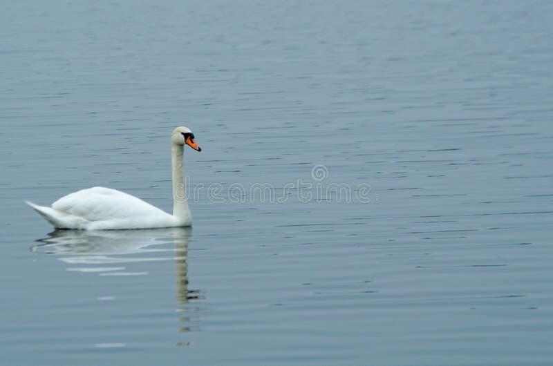 Łabędź na spokojnej jezioro wody powierzchni obrazy royalty free
