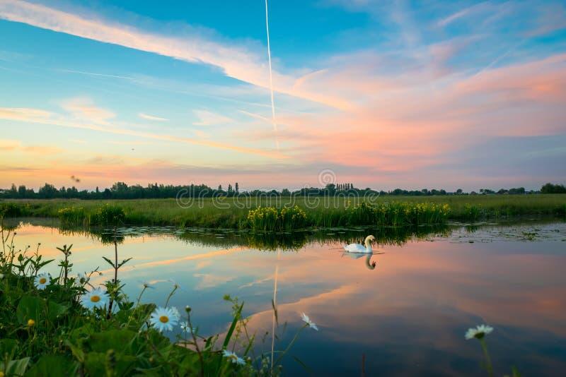 Łabędź pływa w spokojnej wodzie mały jezioro Pi?kne barwione chmury przy zmierzchem fotografia royalty free