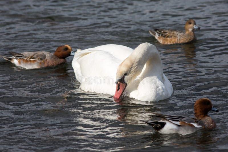 Łabędź pływa wokoło w centrum kaczki zdjęcie stock