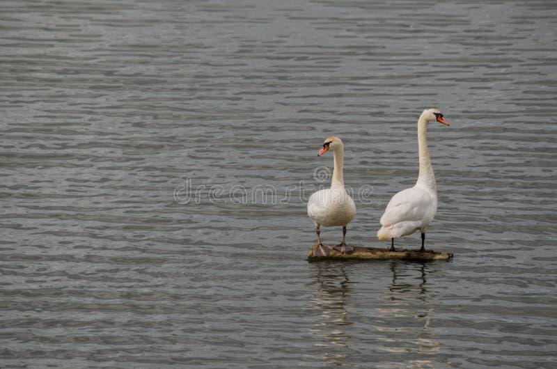 Łabędź stoi na promieniu po środku jeziora zdjęcie royalty free