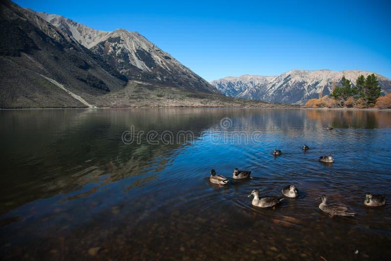 Łabędź w jeziornym halnym wzgórzu obraz royalty free