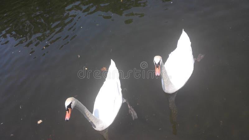Łabędź w jeziorze fotografia stock