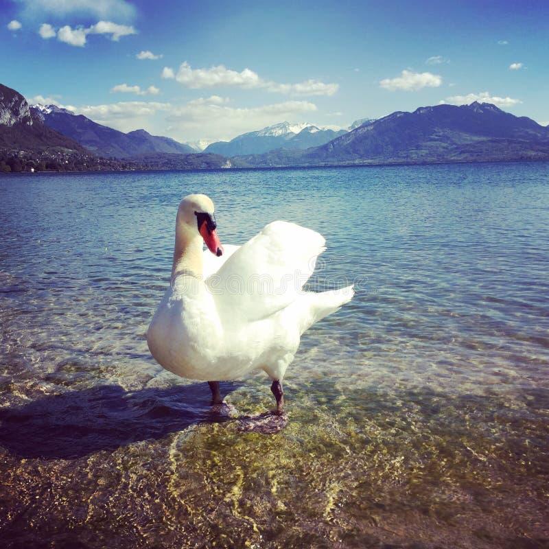 Łabędź w jeziorze Annecy obraz royalty free