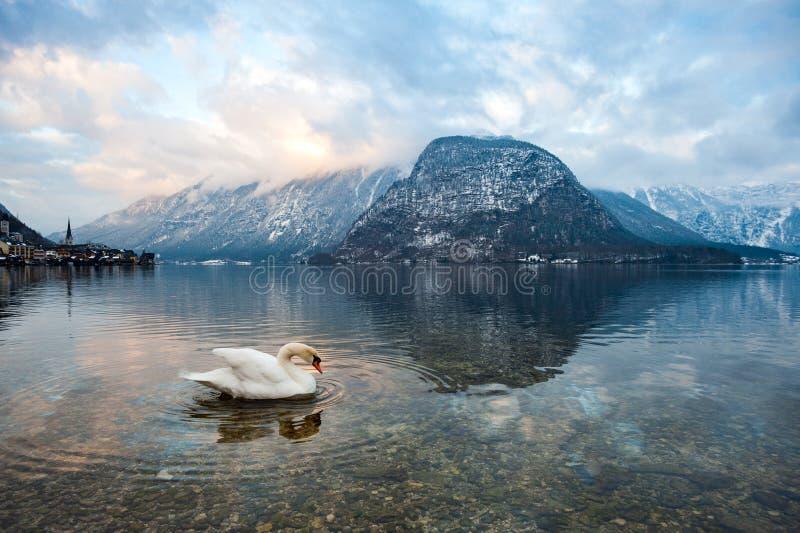 Łabędź w jeziorze Hallstatt Austria obraz stock