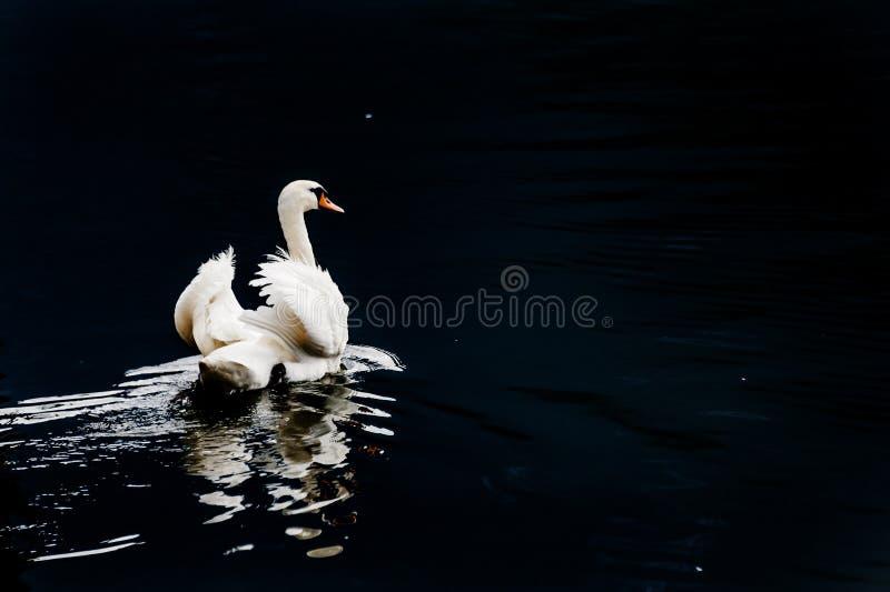 Łabędź w jeziorze przy Hallstatt, Austria zdjęcia royalty free
