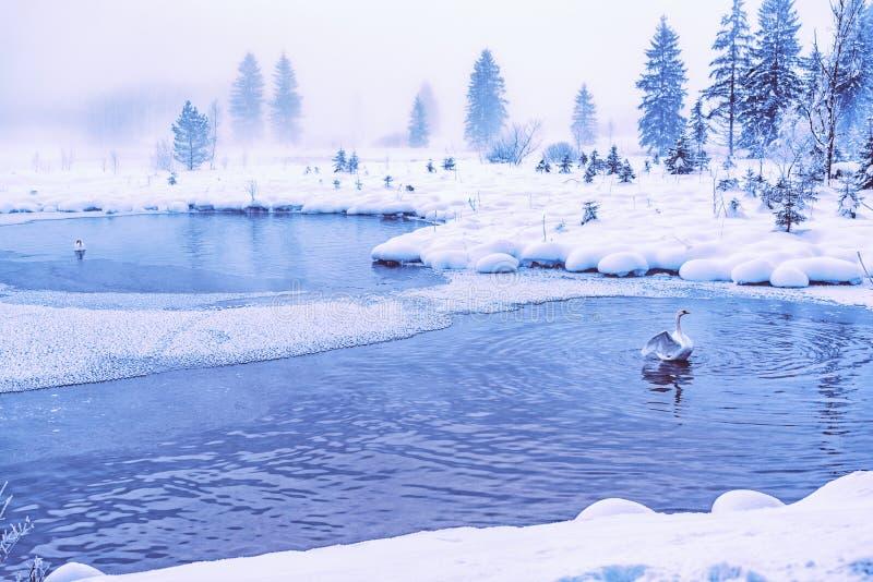 Łabędź w tajemniczym jeziorze obraz stock