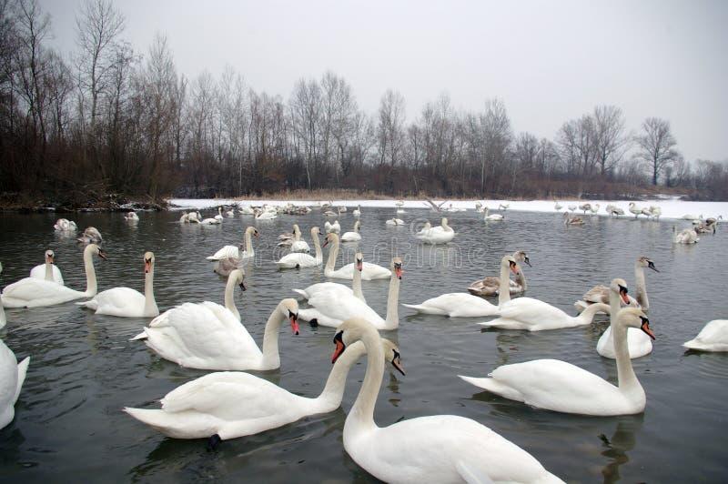 Łabędź W Zima obrazy stock