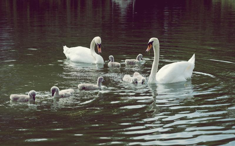 Łabędź z dziećmi na jeziorze zdjęcie stock