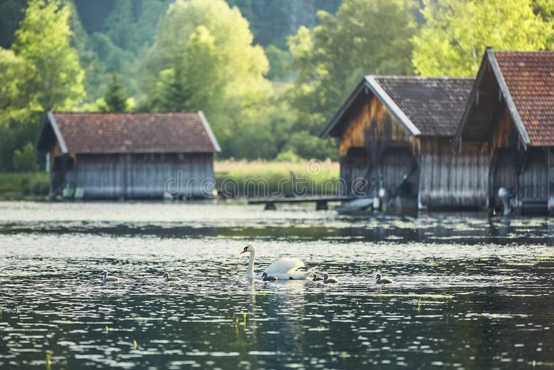 Łabędź z nowonarodzonymi łabędziątkami na jeziorze obrazy royalty free