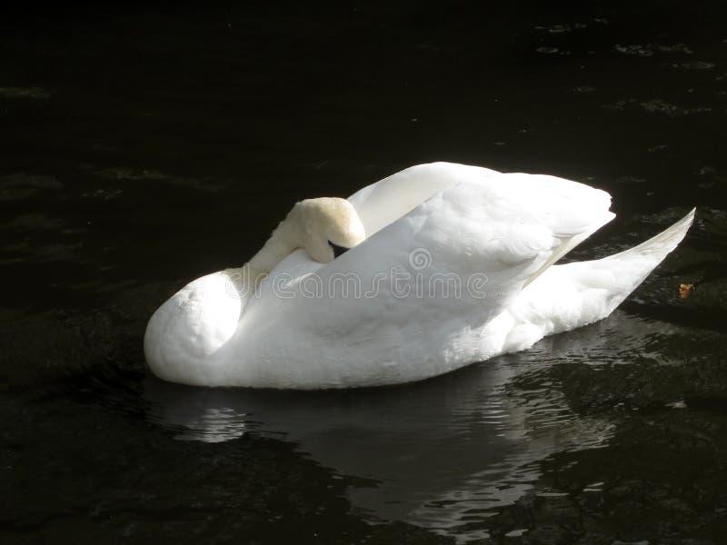 Łabędź zwierzęta Wiedza natura Oczyma natury obraz royalty free