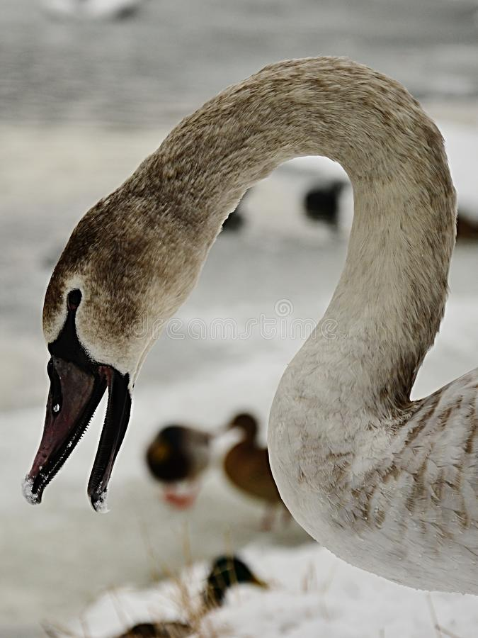 Łabędziątko niemego łabędź Cygnus Olor otwarcia belfer z śniegiem na poradzie Strzał w zima sezonie w Piestany, Sistani obrazy royalty free