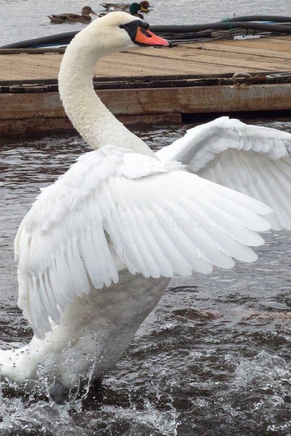 Łabędzi łopotanie swój skrzydła w jeziorze zdjęcie stock