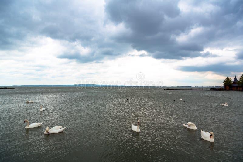 Łabędzi dopłynięcie na jeziorze zdjęcia royalty free