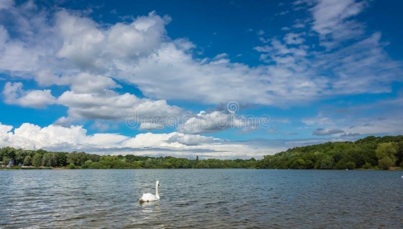Łabędzi dopłynięcie na jeziorze w Ruislip zdjęcia royalty free