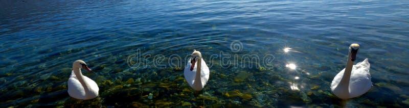 Łabędzi ptaki w jeziornym Ohrid, Macedonia fotografia royalty free