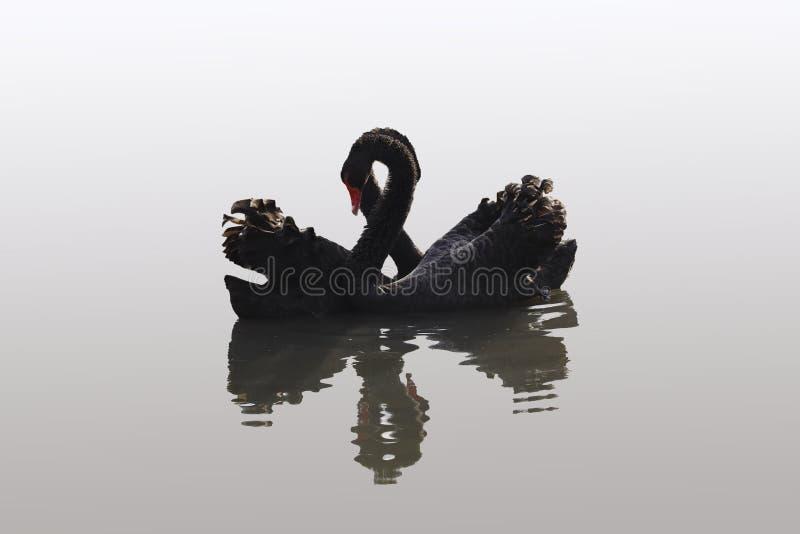 Łabędzia miłość obraz stock