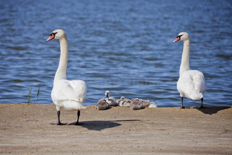 Łabędzia para z gniazdownikami Ptak rodzina obrazy royalty free