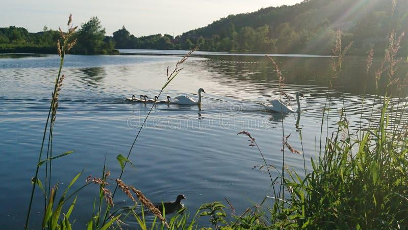 Łabędzia rodzina pływa wzdłuż stawu obraz stock