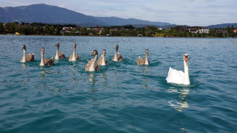 Łabędzia rodzina przy jeziornym Faaker Carinthia Austria fotografia stock