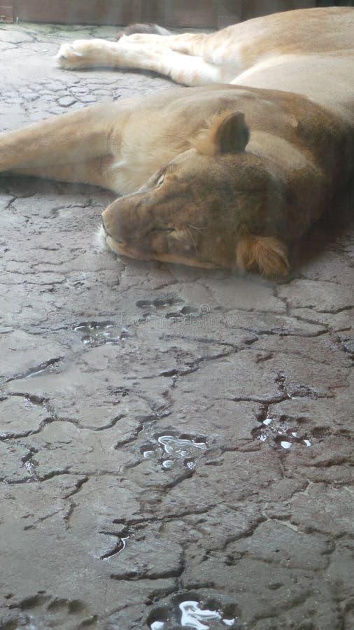łaciński Leo lwicy imienia panthera dosypianie obraz stock