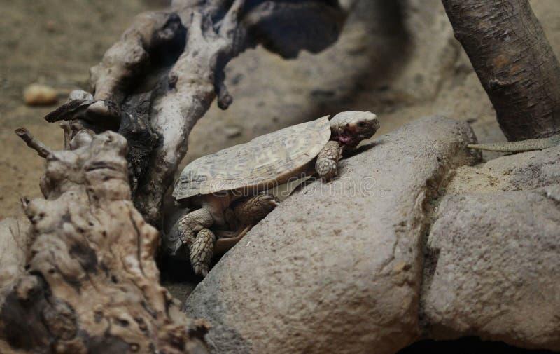 łacińskiego malacochersus imienia naleśnikowy tornieri tortoise zdjęcie royalty free