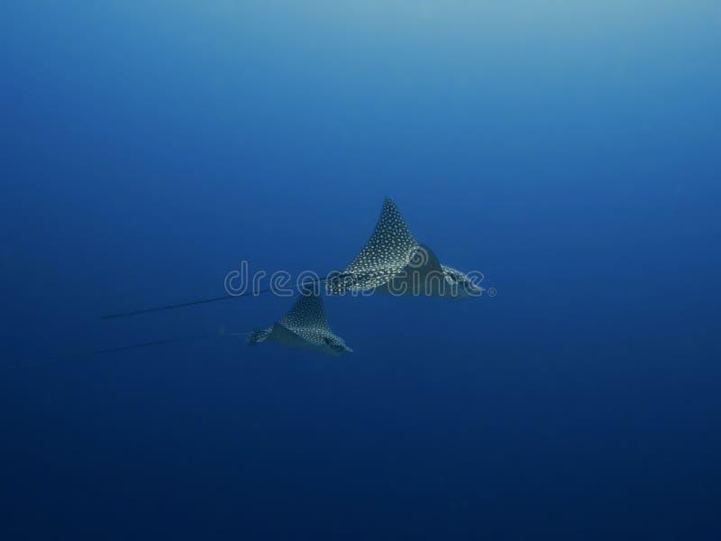 Łaciaści orłów promienie sunie przez oceanu, wschodnie wybrzeże Bonaire, holender Antilles fotografia stock