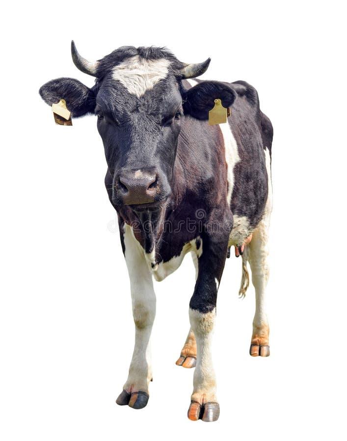 Łaciasta czarny i biały krowa folował długość odizolowywającą na bielu Śmieszna śliczna ciekawa krowa patrzeje bezpośrednio przy  zdjęcia stock