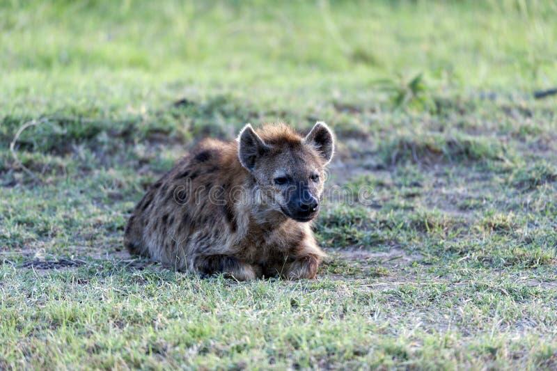 Łaciasta hiena, Crocuta crocuta obrazy stock