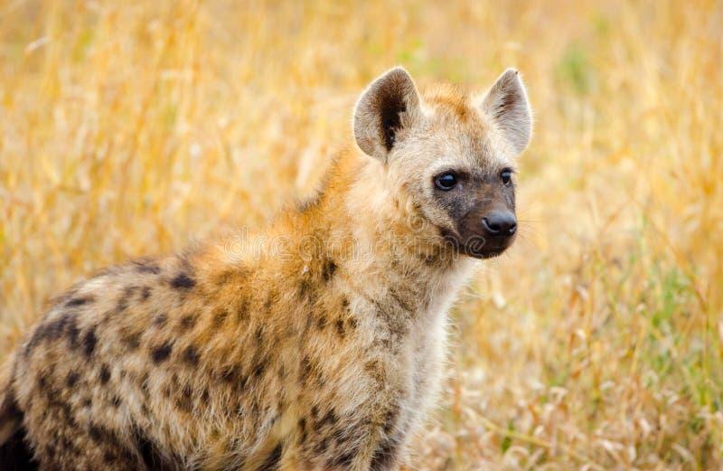 Łaciasta hiena, Kruger park narodowy, Południowa Afryka zdjęcie royalty free