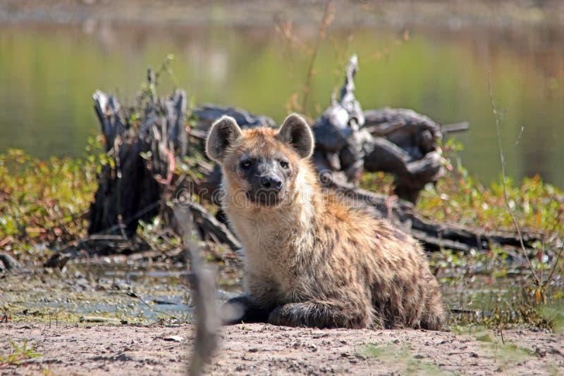 ŁACIASTA hiena OBOK WODNEGO basenu obsiadania W GÓRĘ zdjęcia royalty free