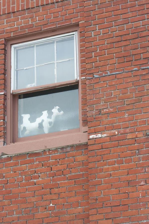 Łaciasta krowa w okno obrazy stock