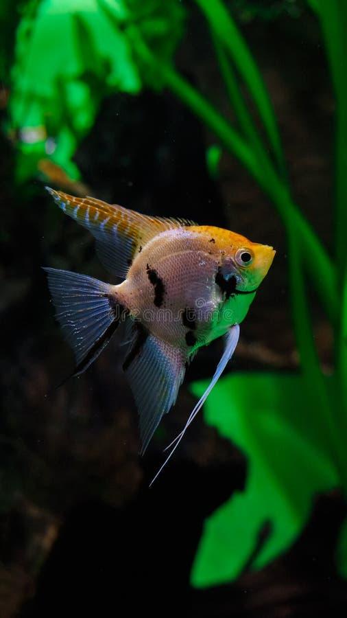 Łaciasta ryba w akwarium, rybi barbety obrazy royalty free