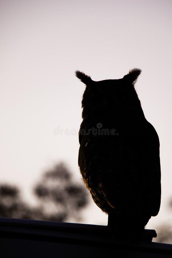 Łaciasta sowy sylwetka przy półmrokiem fotografia royalty free
