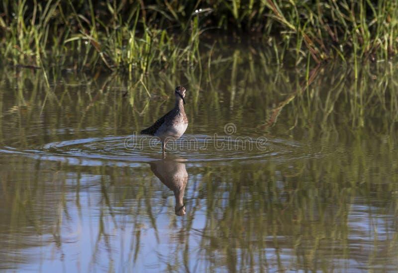 Łaciastego Dzikiego kolana Ptasia pozycja w wodzie zdjęcia stock