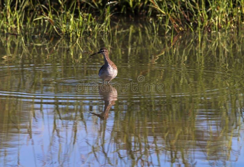 Łaciastego Dzikiego kolana Ptasia pozycja w wodzie obraz royalty free