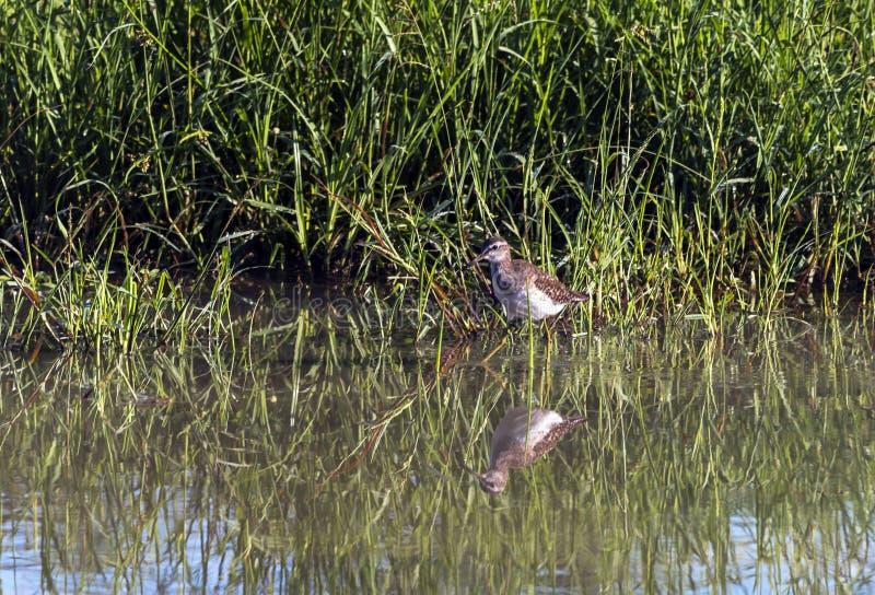 Łaciastego Dzikiego kolana Ptasia pozycja w wodzie fotografia stock