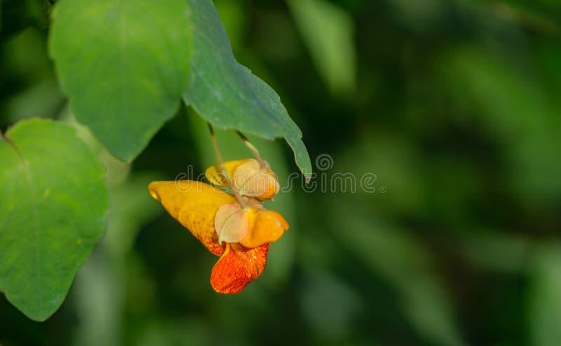 Łaciastego Jewelweed †'Impatiens capensis fotografia stock