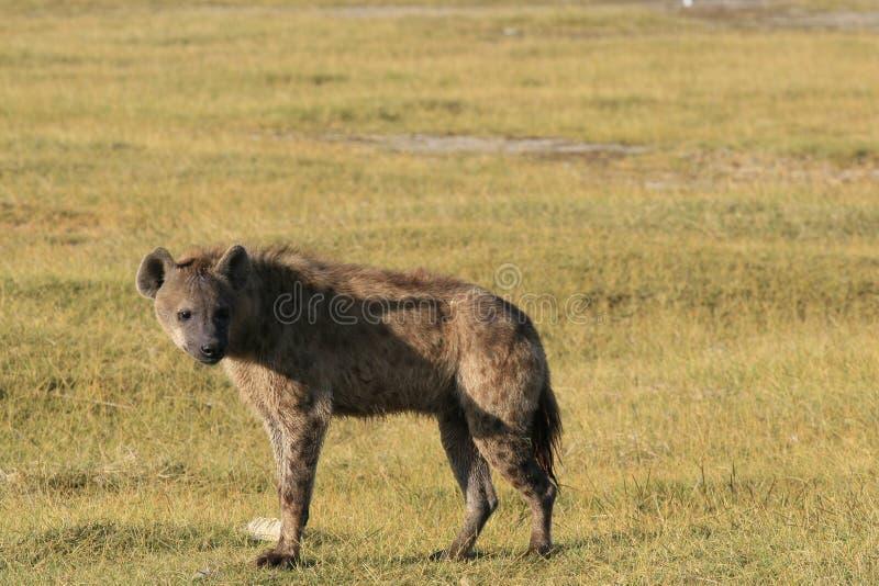 Łaciastej hieny łowiecki flaming na safari w Kenja Wschód słońca w Nakuru jeziorze zdjęcia stock