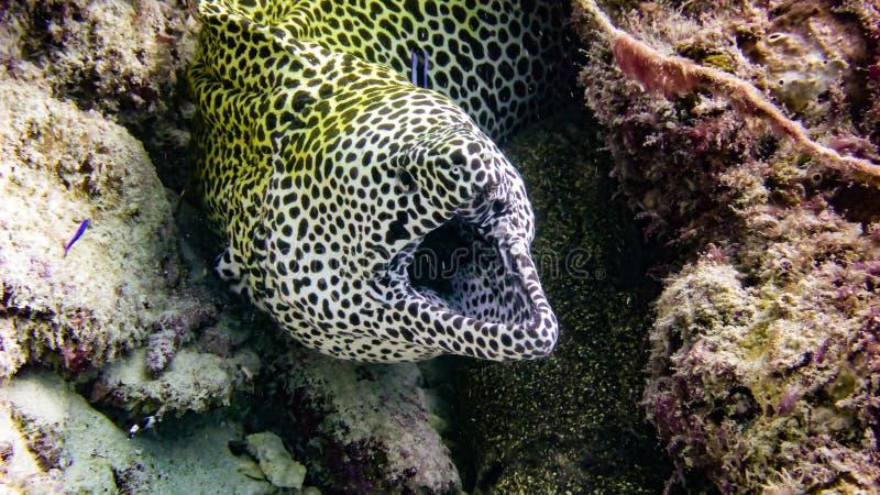 Łaciasty Żółty murena węgorz od tropikalnych Maldives fotografia stock