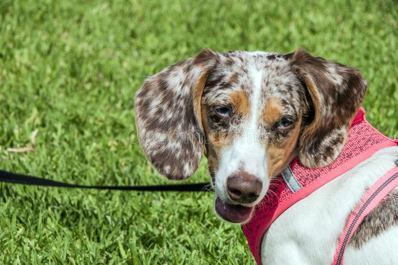 Łaciasty Dapple jamnika psa na smyczu w parku zdjęcia stock