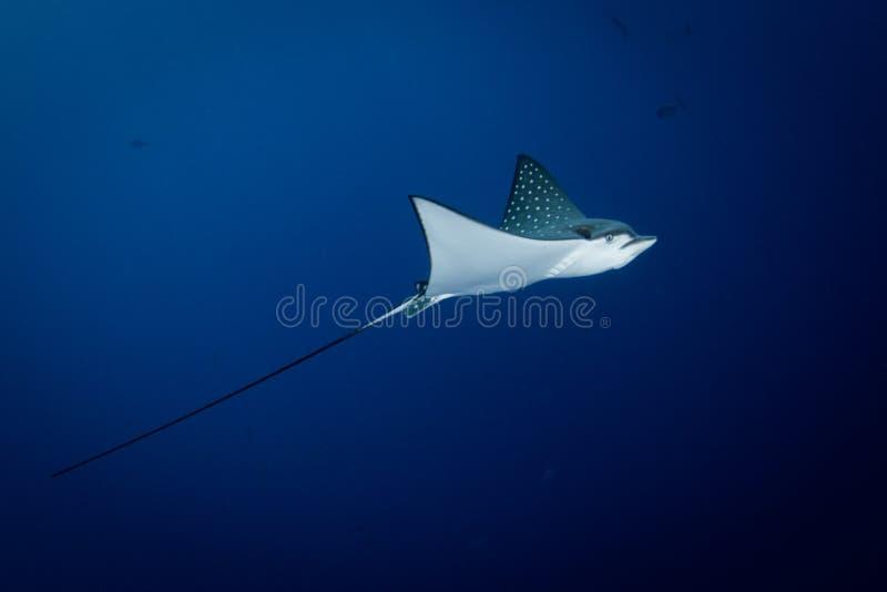Łaciasty Eagle Ray pływa w błękicie - Aetobatus ocellatus - zdjęcia stock
