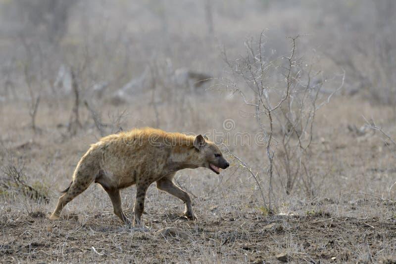Łaciasty hiena dorosły na sawannie obrazy stock