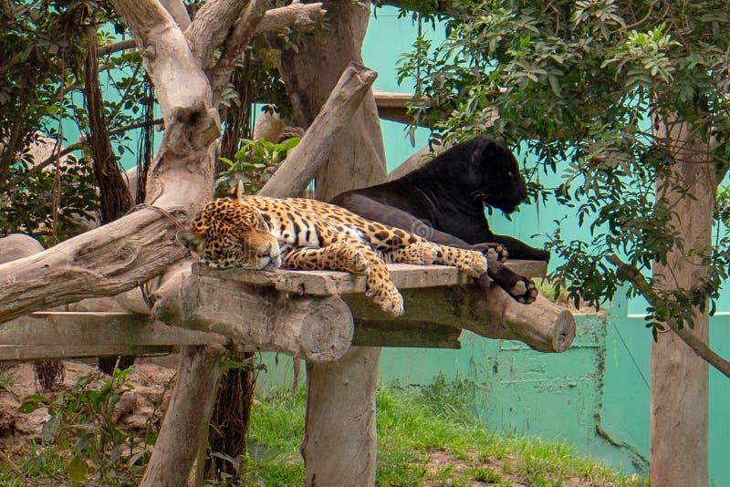 Łaciasty Jaguar i Czarna pantera lounging w drzewie w Parque De Las Leyendas Zoo w Lima Peru S Ameryka obraz royalty free