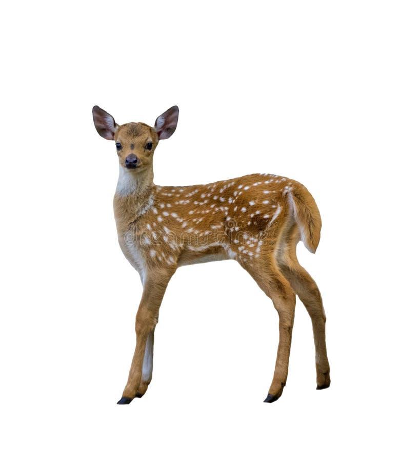 Łaciasty jeleni źrebię odizolowywający na białym tle zdjęcia royalty free