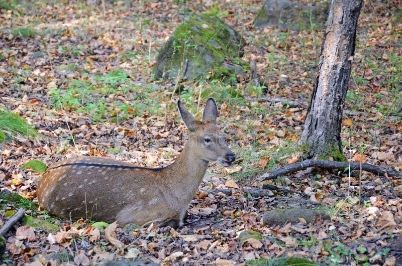 Łaciasty jeleni Cervus Nippon w Daleki Wschód tajdze femaleness zdjęcia stock