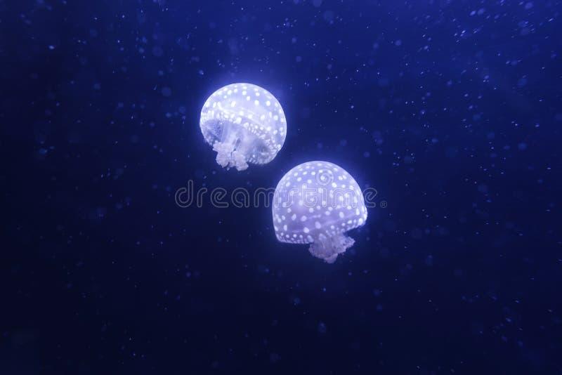 łaciasty jellyfish biel zdjęcia stock