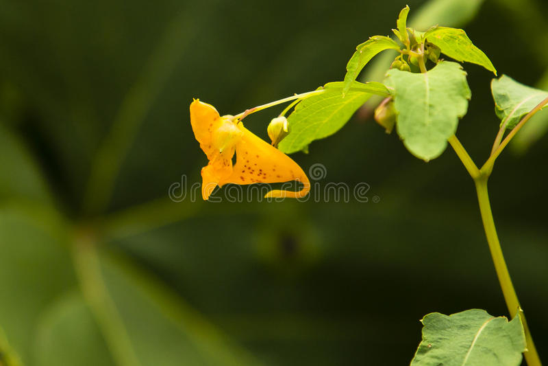 Łaciasty Jewelweed, niecierpek Dostrzegający Pomarańczowy kwiat/ obrazy royalty free