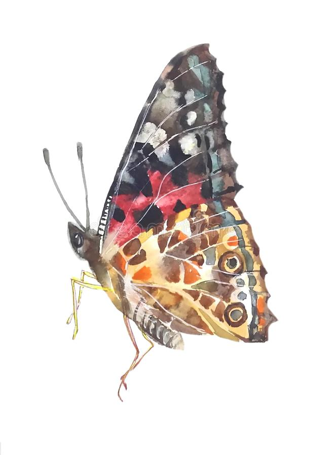 Łaciasty motyl z białymi żyłami ilustracji